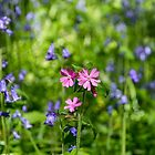 Red Campion. by Dave Staton