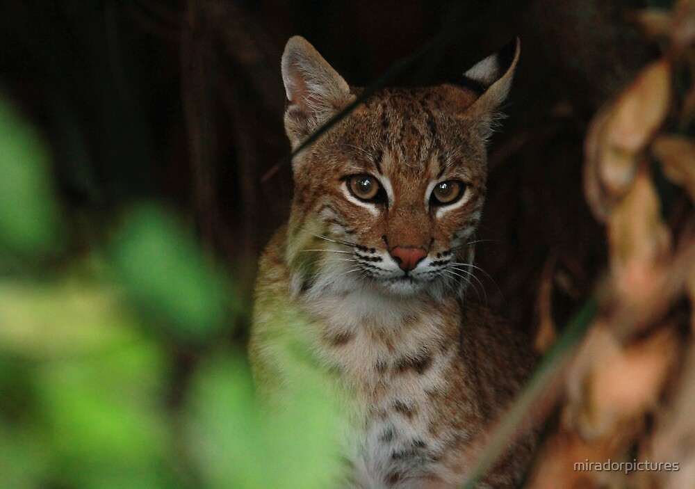 Bobcat home by miradorpictures