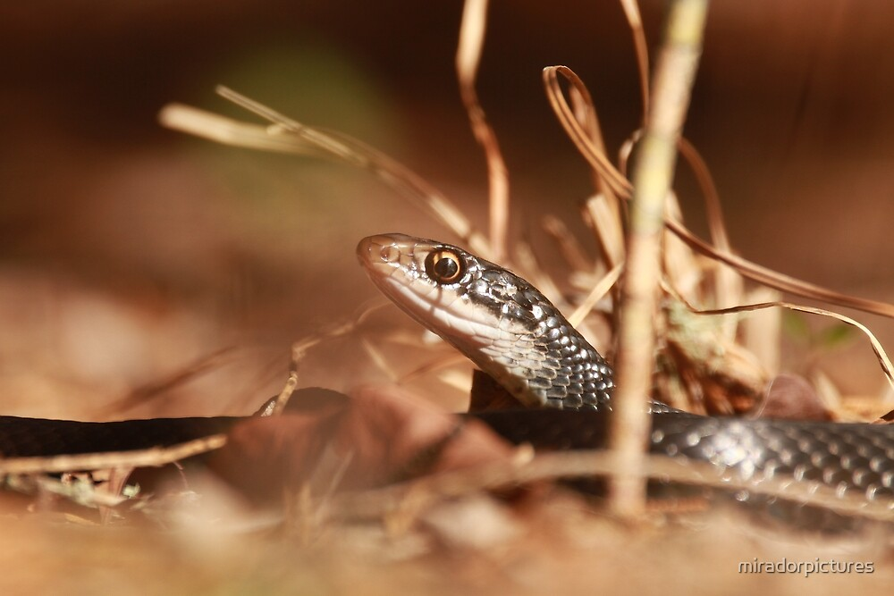 Black racer snake by miradorpictures
