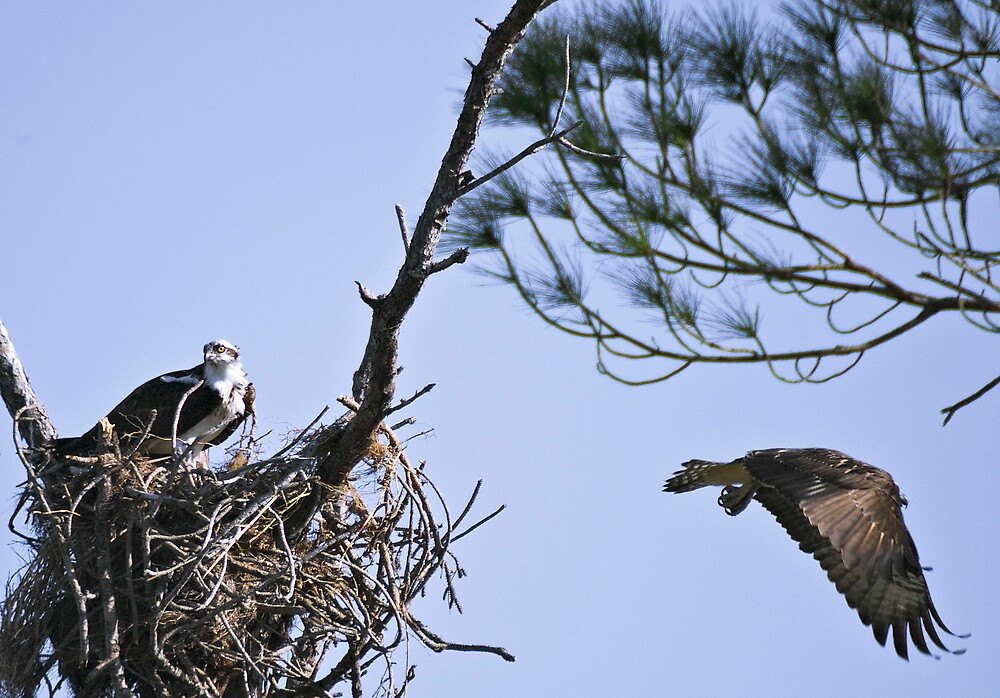 Osprey Pair On Nest by pjwuebker