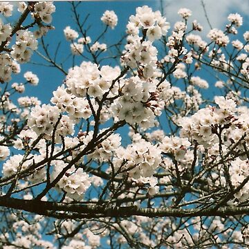 Sakura by mindscribbler