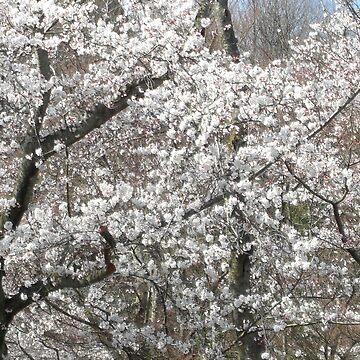 Sakura Blooms in Suigen Park  by mindscribbler