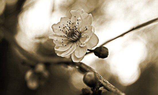 Cherry Blossoms in Sepia #2 by Evita