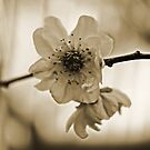 Cherry Blossom in Sepia  by Evita