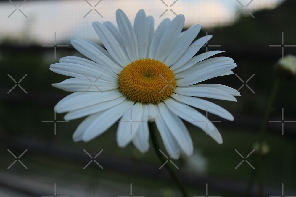 A daisy for you by Althea Gianera