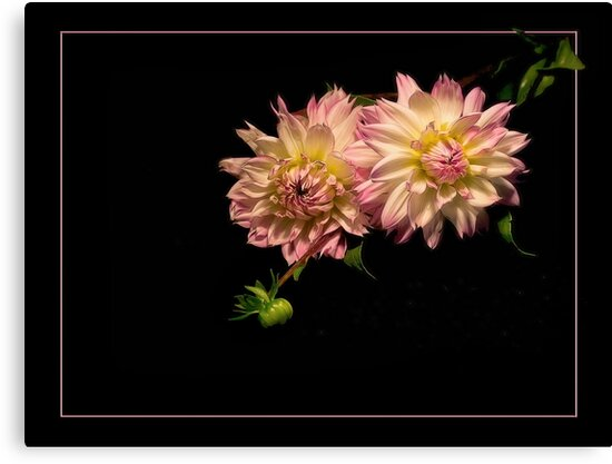 Dahlias in Pink by Kathy Weaver