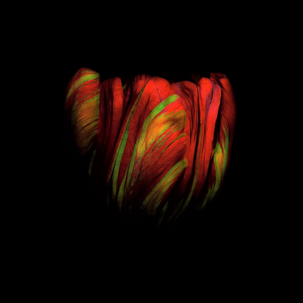 Tulip Flower on Black Background Abstract by davidgnsx1