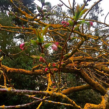 Mossy branches and pink blossoms by mariethebee