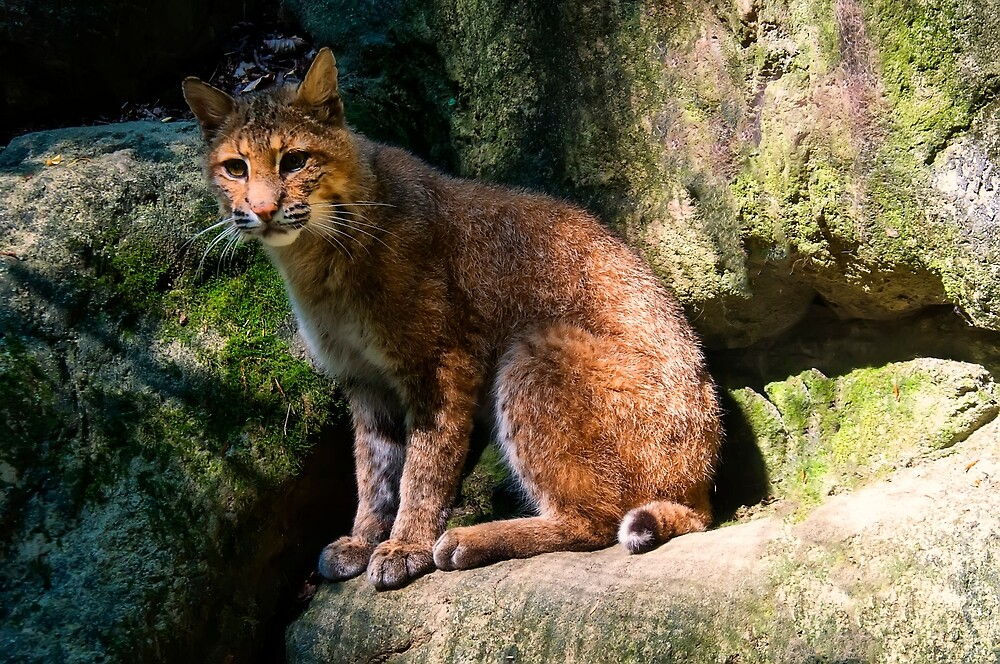 Bobcat Perched on a ledge by chrisflees