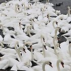 A Number of Swans #2 by kalaryder