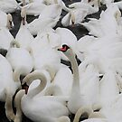 A Number of Swans #3 by kalaryder