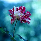 Delightful 'George Burns' Rose.... by DonnaMoore