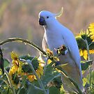cockatoo and sunflowers by Trish Threlfall