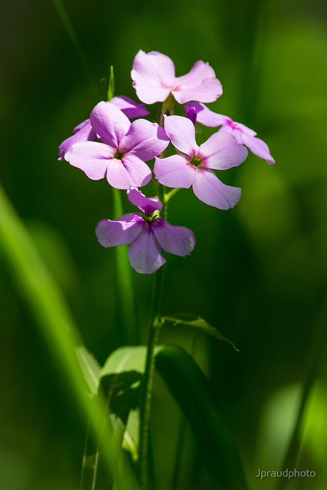 Purple flowers by Jpraudphoto