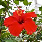 Hibiscus by John Thurgood