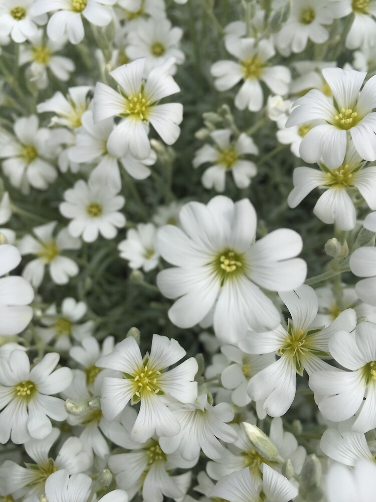 Lovely White Flowers  by MelissaGG