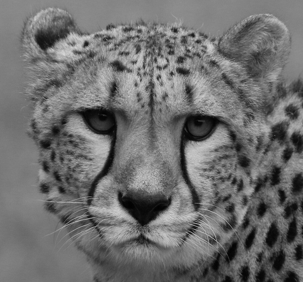 Spotted by a Cheetah by jgregor
