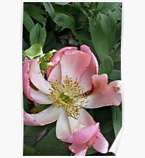An Open Peony Poster