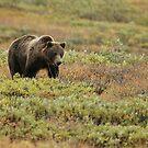 Bears of Denali 2 by jgregor