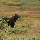 Bears of Denali 3 by jgregor