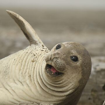 Laughing Elephant Seal by jgregor
