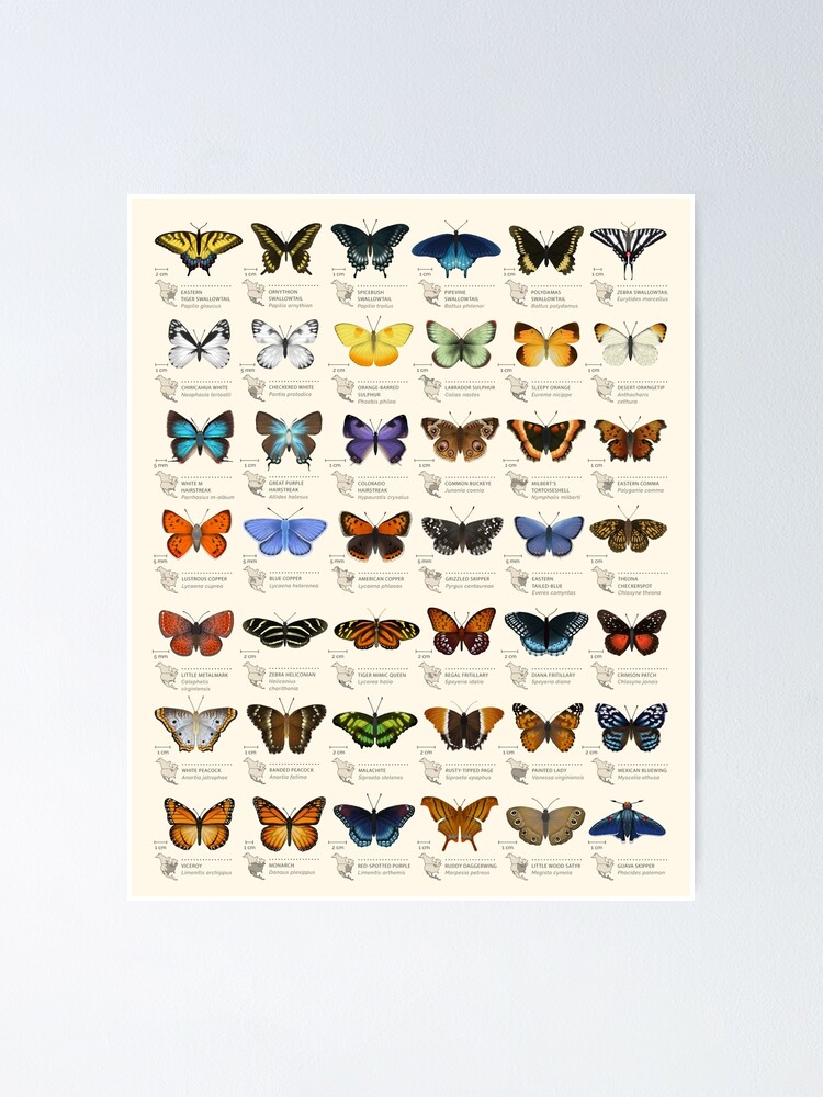 Alternate view of Butterflies of North America Poster