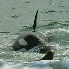 Orca on the Hunt by jgregor