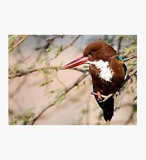 White Breasted Kingfisher II Photographic Print
