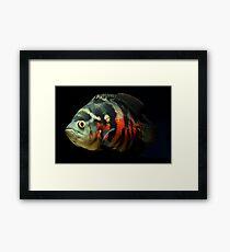 Astronotus ocellatus - Oscar - Velvet Cichlid -  Marble Cichlid Gerahmtes Wandbild