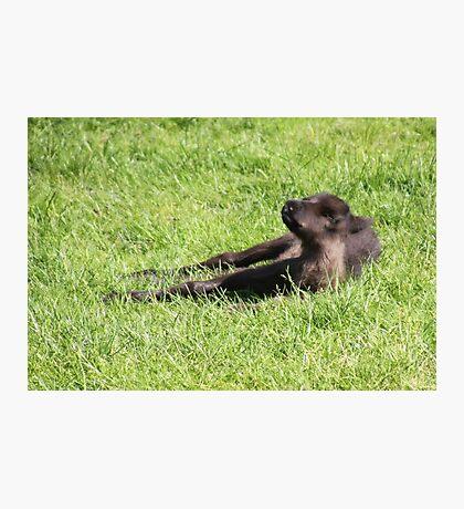Just Born Reindeer Calf Photographic Print