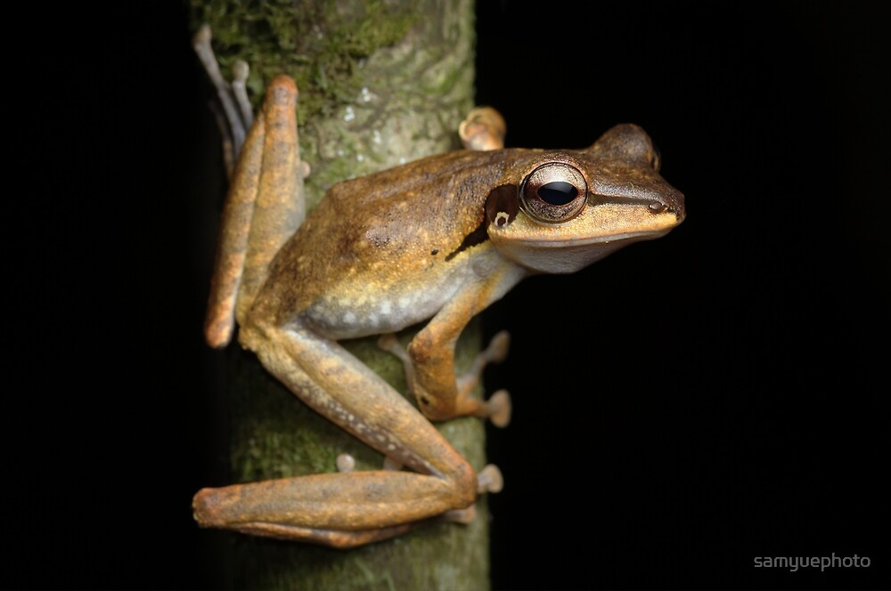 Dark eared tree frog Polypedates macrotis by samyuephoto