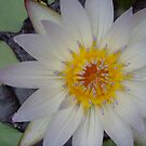 water lily  by photolvr761