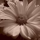 daisy by photolvr761