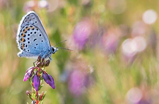 Silver Studded Blue by Lauren Tucker