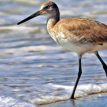 Florida Willet by rural-guy