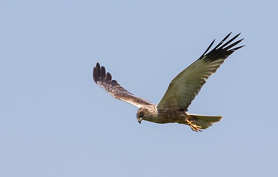 Marsh Harrier by Lauren Tucker