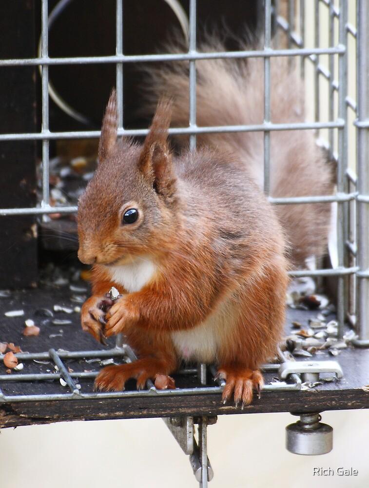 Squirrel on a Grey trap by Rich Gale