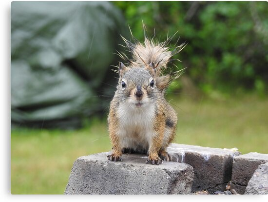 Wet Squirrel by SmirkDog-Photo