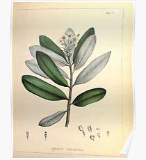 Illustrations of medical botany 1847 V1 Joseph Carson 005 Drymys Chilensis Poster