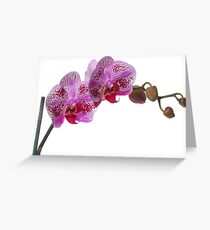 Purple Phaleanopsis Orchid on white background Greeting Card