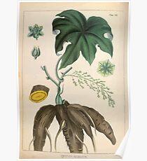 Illustrations of medical botany 1847 V1 Joseph Carson 006 Coculus Palmatus Poster
