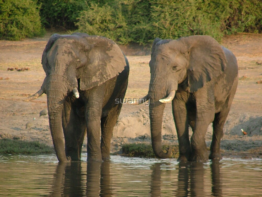 Elephants on move by swanny