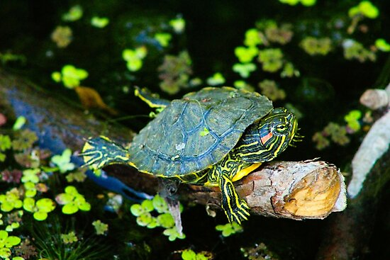 Tiny Turtle by Aleksa Mule
