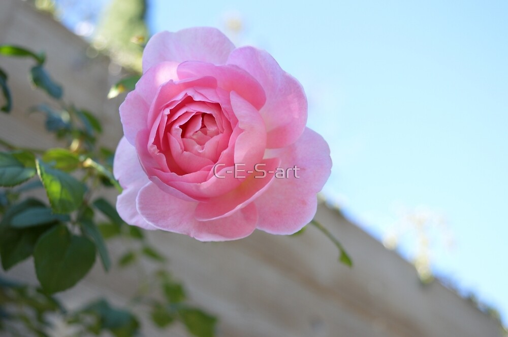 Rose by C-E-S-art