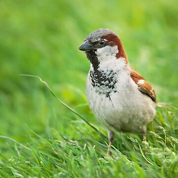 Male House Sparrow by domcia