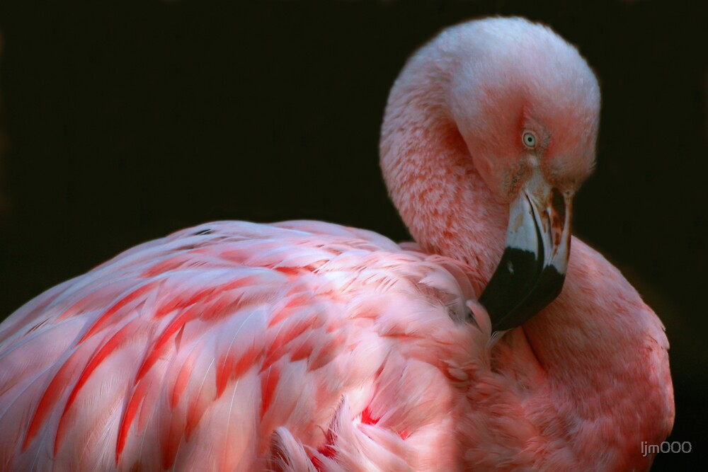 Preening Flamingo by ljm000