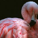 Preening Flamingo by ljm000