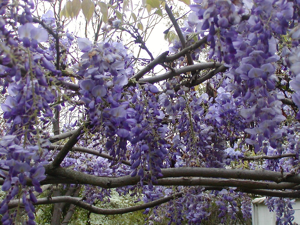 Wisteria  by Theodore Ray