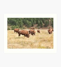 Bison Grazing Art Print