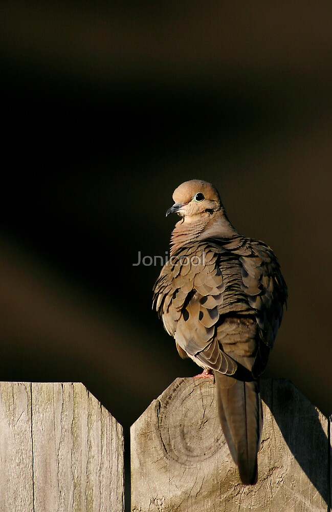 Dove by Jonicool